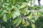 hetre_1280px-fagus_sylvatica_-quercifolia-_jpg1b.jpg