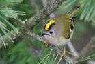 leroitelet_regulus_regulus_-marwell_wildlife,_hampshire,_england-8.jpg